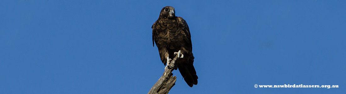black-falcon-34725