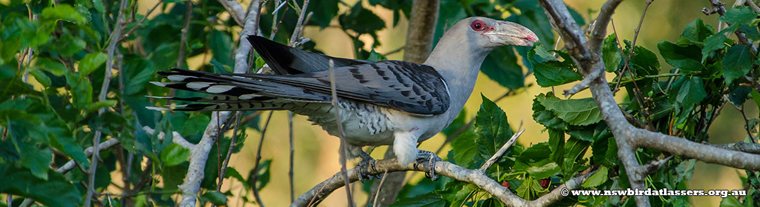 channel-billed-cuckoo-23616