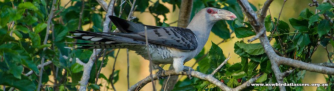 channel-billed-cuckoo-23616