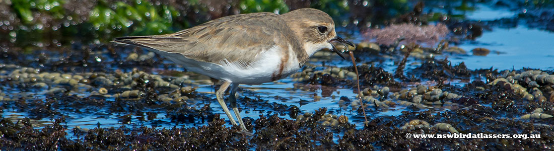 double-banded-plover-worm-27291