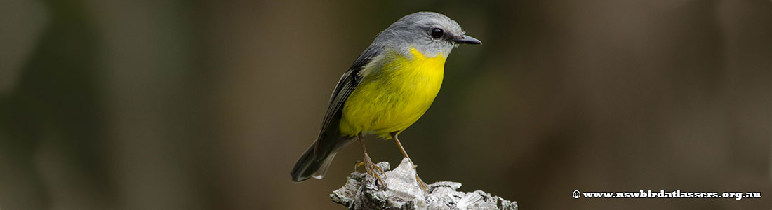 eastern-yellow-robin-18589