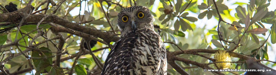powerful-owl-23746
