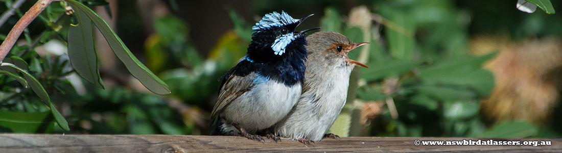 superb-fairy-wrens-pair-singing-2667