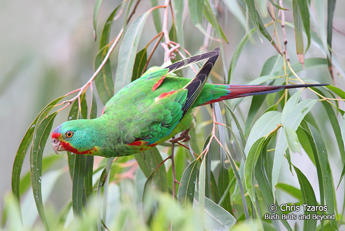Swift-Parrot-8806-(Chris-Tzaros)-lr