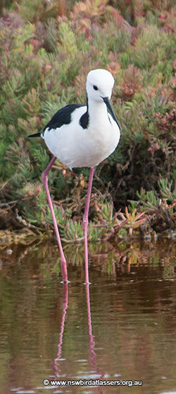 black-winged-stilt-33594