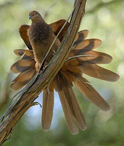 brown-cuckoo-dove_20789