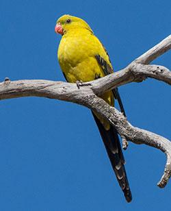 regent-parrot-9505-rsp